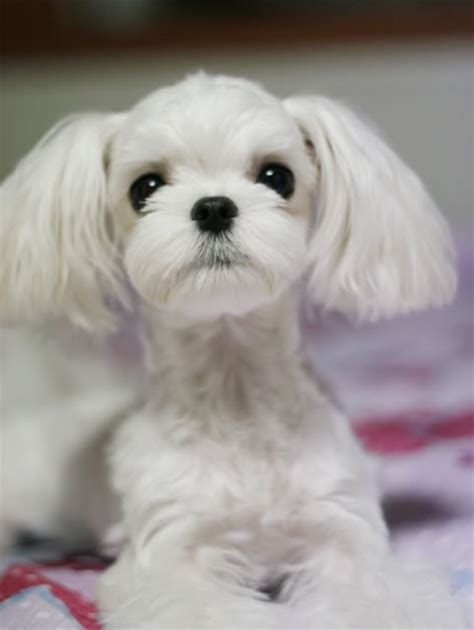maltese haircut styles pictures cutest maltese groom i ve ever seen grooming