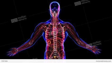the human body anatomy of the human body stock animation 1591306