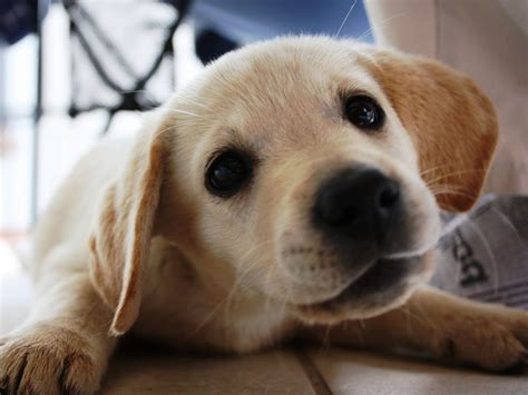 labrador puppies golden lab puppy