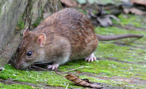Blind Rat Brown Rat Empire Pest Control London