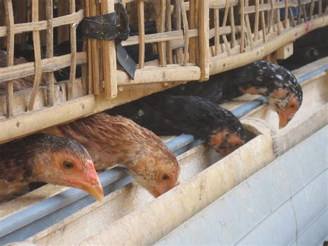 cara membuat kandang jemuran ayam cara membuat kandang ayam doc pertanian tv