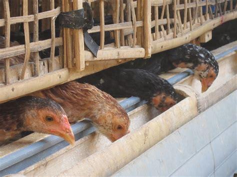 Alas Kandang Anak Ayam cara membuat kandang sederhana ayam kung banyuwangi