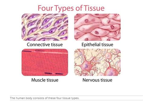 definition of animal biology in humans similar cells may combine to form tissues