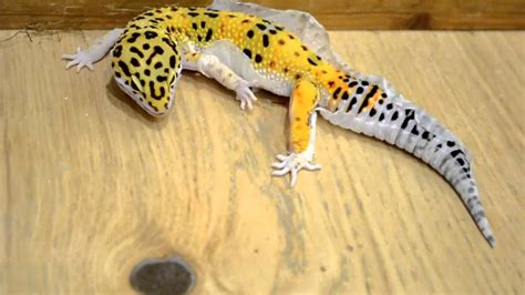 Do Geckos Shed by Leopard Gecko Shedding Process