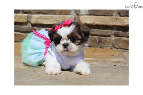 shih tzu puppies for sale in rock arkansas saphra shih tzu puppy for sale near rock arkansas ba5dfd3a 2561