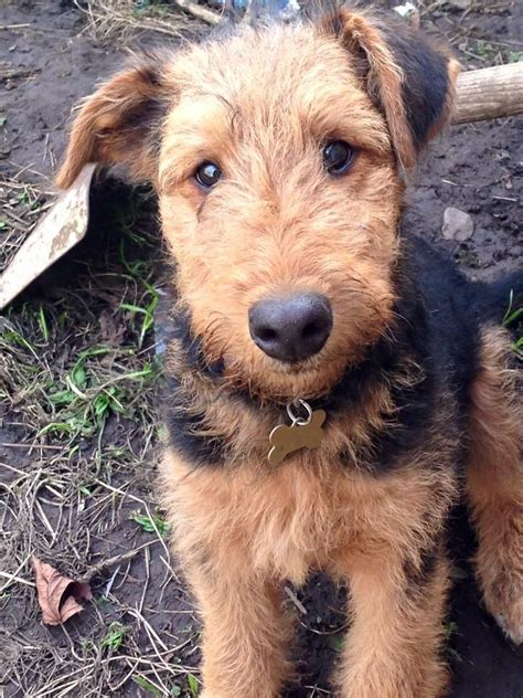 airedale puppies airedale terrier puppy 5 months wednesbury west midlands pets4homes