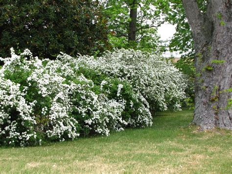 fast growing flowering evergreen shrubs fast growing flowering hedges flowering shrubs http