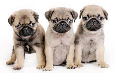 where do pug dogs originate from do free pug puppies exist