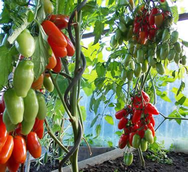 climbing tomato plants spiral stake support as a climbing aid for tomatoes and
