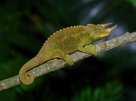 17 best images about chameleon species on pinterest