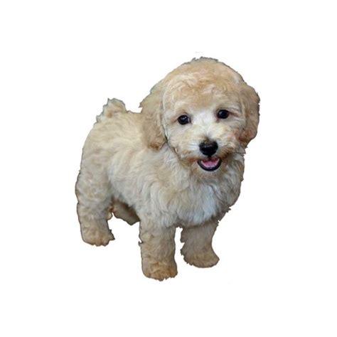 bichon frise poodle lifespan bichon poo petland kennesaw