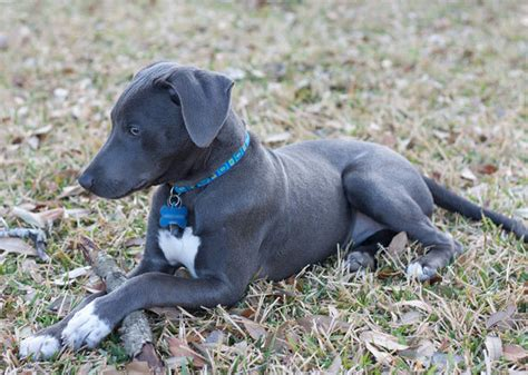 blue lacy state breed blue lacy breeds picture