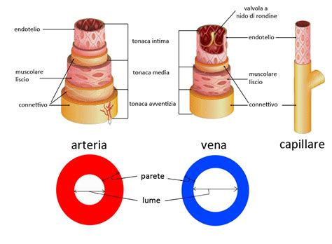 struttura vasi sanguigni ihmc cmaps 2
