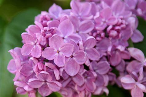 lilla fiore lilla il fiore che rilassa la mente e il corpo la