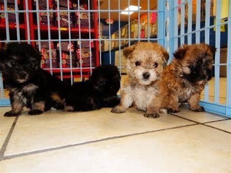morkie puppies for sale in alabama morkie puppies dogs for sale in birmingham alabama al 19breeders huntsville