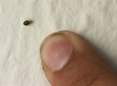 how small are bed bugs small bed bug bites