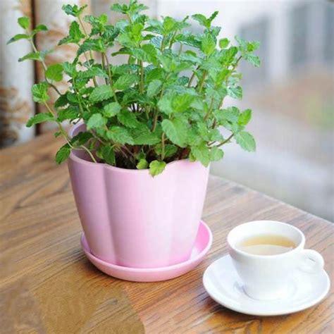 growing mint indoors   care   balcony garden web