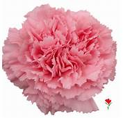 Pink Carnation From Flores Funza Variety Betsy