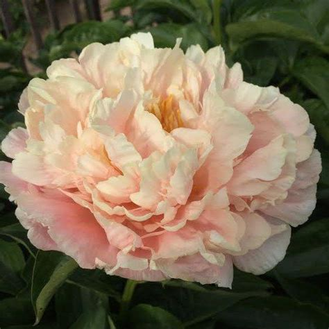 1000 ideas about peonies on pinterest flowers tree