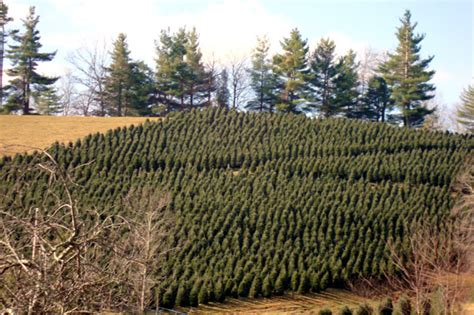 local christmas tree farms gable haus inn and the linville area