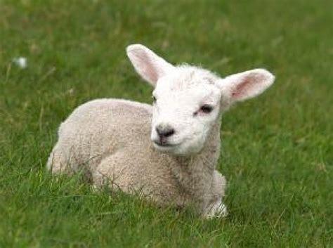imagenes de jesus con un cordero el hocico del osico de borregos ovejas y corderos no