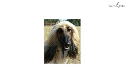 akc afghan hound puppies for sale afghan hound for sale for 1 700 near 15df40ee 6ce1