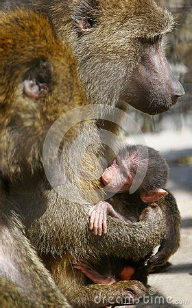 baby monkey feeding time baboon monkey feeding baby stock image image 13738811