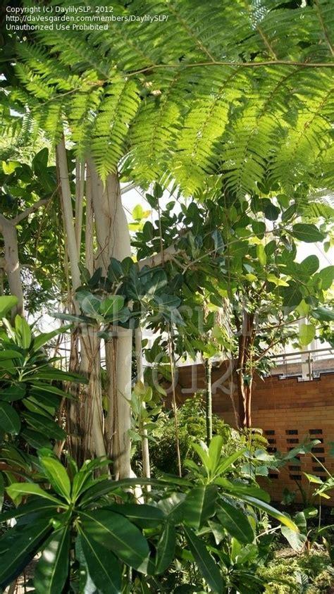 Matthaei Botanical Gardens Arbor Mi by Plantfiles Pictures Banyan Tree Ban Yan Ficus