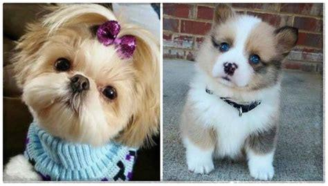 perros peque os para apartamentos imagenes de razas de perros peque 241 os y peludos archivos