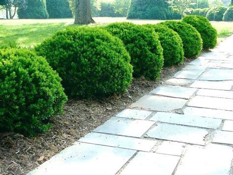 landscape shrubs plants shrubs evergreen simplir me
