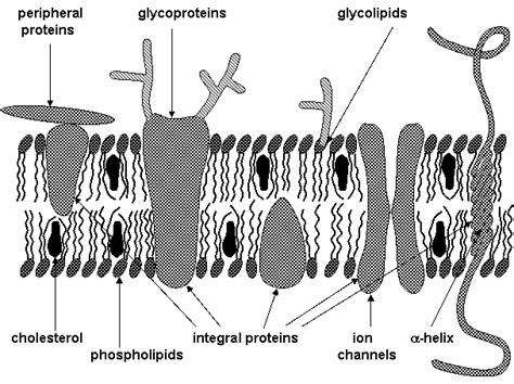 cross section cell membrane micro 2420 membrane structure review
