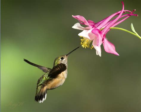 quot acquiligia quot by roy hancliff on 500px female rufous
