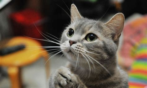 how many calories does my cat need petnet
