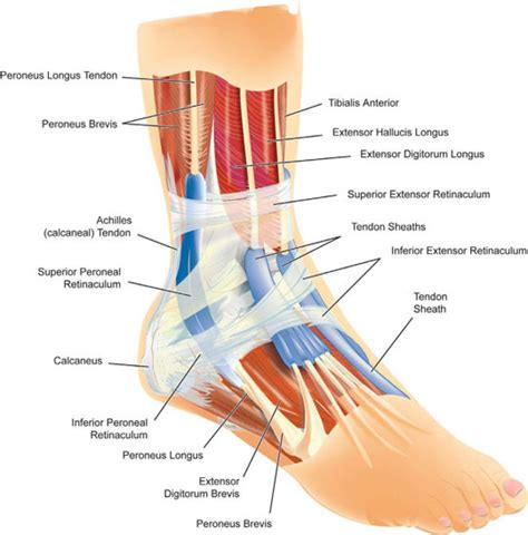 foot ligaments diagram ankle and foot diagram anatomy human