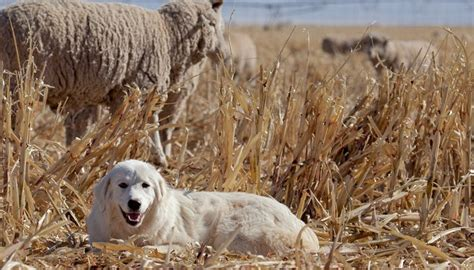 farm breeds 20 best farm breeds for living in the country