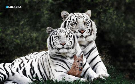 minicuentos de tigres y 動物ワイド壁紙コレクション 13 16 1920x1200 壁紙ダウンロード 動物ワイド壁紙コレクション 13 動物 壁紙 v3の壁紙