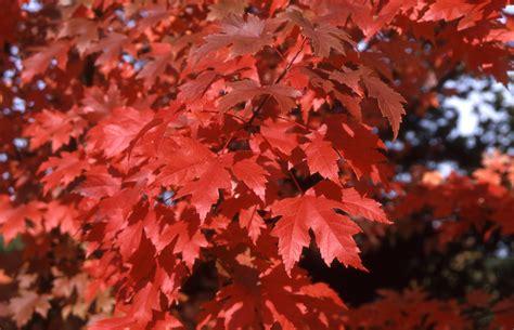maple tree vs autumn blaze autumn blaze maple nursery