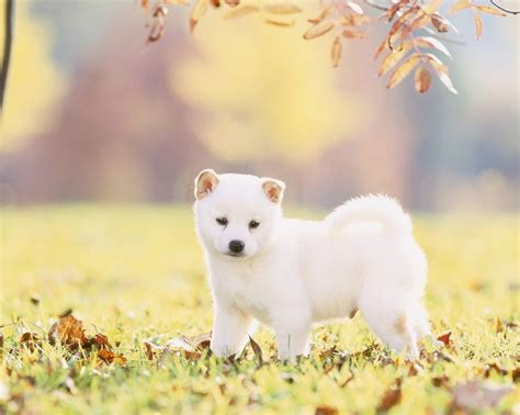 Shiba Inu Also Search For 17 Best Ideas About White Puppies On Fluffy Puppies Pupper Doggo And