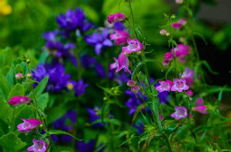 Cottage Garden Flowers Perennials by Cottage Garden Flowers Penstemon
