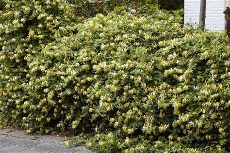Fragrant Flowering Plants - lonicera fragrantissima winter honeysuckle