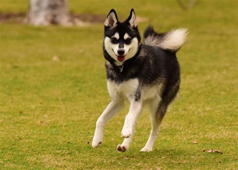 Alaskan Klee Shed by Alaskan Klee Facts Pictures Puppies Temperament Breeders Price Animals Adda