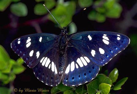 le schmetterling butterflycorner net limenitis reducta blauschwarzer