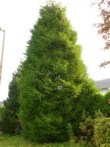 cedar trees western cedar trees