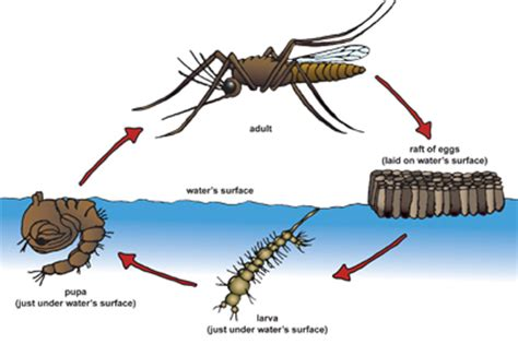how to kill mosquitoes in home mosquito biology when is the best time to eliminate