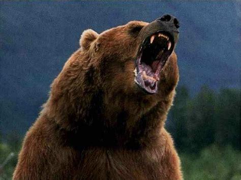 bear s bear wild animals wallpaper 3310948 fanpop