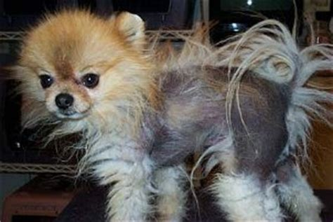pomeranian skin conditions black skin disease pomeranian breeds picture