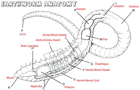 Dissection Of Earthworm Zoology Worm Dissection Search Garden Initiative Mouths Biology And