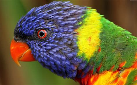 wallpapers of colorful animals wallpaper rainbow parrot beautiful colorful animals