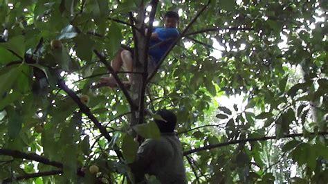 Tanaman Manggis Pohon Manggis 085894576246 oel2 panjat pohon manggis d