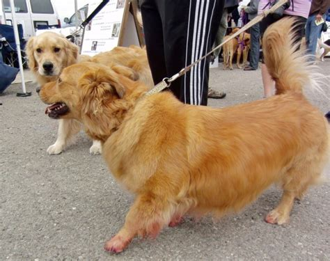 corgi golden retriever mix breeder of the day go lightly the lead the dogs of san franciscothe dogs of